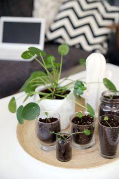 pilea peperomioides chinesischer geldbaum gl ckstaler ufopflanze missionarspflanze. Black Bedroom Furniture Sets. Home Design Ideas