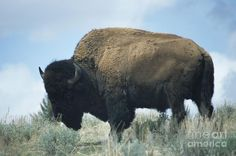 Yellowstone Bison Photograph  - Yellowstone Bison Fine Art Print     This image just says   Yellowstone National Park.    I love these beasts, they have all the time in the world, even when they are in the middle of the road and they know you have to wait for them to move.