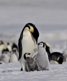 Emperor penguins by *laogephoto Nature Animals, Animals And Pets, Baby Animals, Cute Animals, Animals Images, Beautiful Birds, Animals Beautiful, Cute Penguins, Mundo Animal