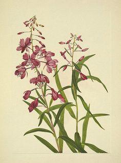 Fireweed, Great willow herb. Epilobium angustifolium. North American wild flowers, Walcott, Mary Vaux, vol. 3 (1925-1927)