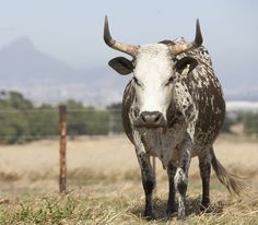 beauty Zebu Cattle, Lake Chad, Longhorn Cattle, Best Swimmer, Dairy Cattle, Animal Agriculture, White Lake, Work With Animals, Pure Products