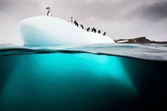Cliché de manchot à jugulaires dans leur habitat naturel sur l'île de Danko en Antarctique