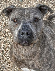 """Meet 15-140 """"Hero"""", an adoptable Pit Bull Terrier looking for a forever home. If you're looking for a new pet to adopt or want information on how to get involved with adoptable pets, Petfinder.com is a great resource."""