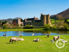 #Sheep and #lambs graze near #Stokesay Castle, #Shropshire, England. #castle #castles #farming