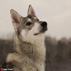 Wolfshund Mix Kira  Irgend etwas liegt in der Luft  Rasse: Wolfshund Mix / Name: Kira     Mehr lesen: http://d2l.in/2f  dogs2love - Gassi gehen zum Verlieben. Partnerbörse für alle, die Hunde lieben.  Bild, Dating, Foto, Hund, Single
