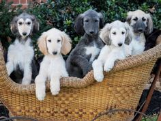 Afghan Hound Puppies - five in a buggy 💗 Hound Puppies, Hound Dog, Saluki Puppies, Buy Puppies, Beautiful Dogs, Animals Beautiful, Afghan Hound Puppy, Pet Dogs, Dog Cat