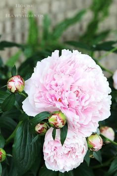 Tips on how to grow peonies. Everything from soil conditions to USDA Plant Hardi… Tips on how to grow peonies. Everything from soil conditions to USDA Plant Hardiness Zones to ants. Includes how to cut peonies for flower arrangements. Flowers Perennials, Planting Flowers, Flower Gardening, How To Plant Flowers, Flowers Garden, Summer Flowers, Outdoor Plants, Garden Plants, Growing Peonies