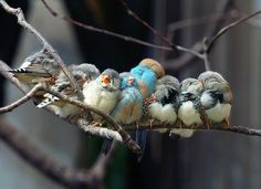 Finches Huddle on Branch