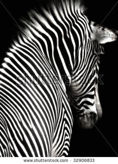 A black and white zebra image at an interesting angle showing head and shoulders.  The zebra is facing slightly away from the camera and is isolated on a black background. - stock photo