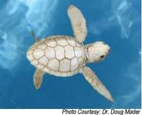 white baby turtle