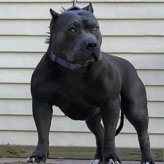 That dog is 1 hell of a pit! Pitbull Terrier, Amstaff Terrier, Bully Pitbull, Pit Bull Mix, Pitbull Americano, Big Dogs, Cute Dogs, Scary Dogs, American Pitbull