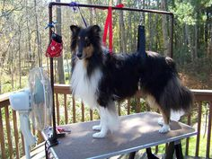 Izzo on my homemade grooming table ready to be brushed dry!