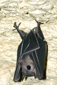 Unidentified flying fox (fruit bat) roosting in cave, Raja Ampat Islands, West Papua, Indonesia.