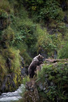 frigxd:  Kodiak Bear, Kodiak Island (by Cedrik Strahm)