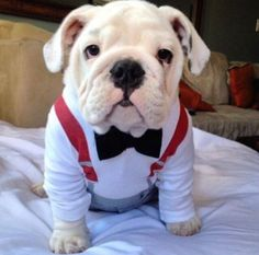 Simple Cuby Chubby Adorable Dog - cc0546f8bd20dc4a93a5818abb238c9d--bowties-english-bulldog-puppies  HD_415215  .jpg