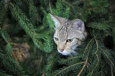 Week in Wildlife: Wildcats reintroduced to the wild in Germany