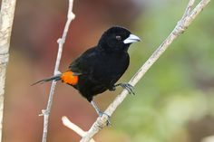 Asoma Candela, Flame-rumped Tanager (Ramphocelus flammigerus) male 28 by jjarango, via Flickr