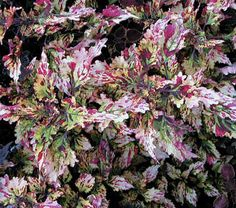 A dramatic sport of 'Sizzle' discovered in our greenhouses by staff member Rob Storm. Its pattern of cream, yellow, and burgundy works well with other Coleus and will enliven a border all season. Exclusive.  The endlessly colorful foliage of Coleus is making a comeback as gardeners rediscover old varieties and breeders introduce new ones. Our selection offers a diversity of foliage color, leaf shape, and growth habit, and they all make glorious container subjects. Though most tolerate full…
