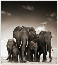 Nick Brandt Elephants | I love Nick Brandt, because of his u… | Flickr