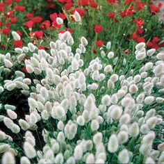 """'Bunny Tails' Ornamental Grass - Easy to grow and the fluffy tails scream to be touched by young and old alike. Grown as an annual for most of us as it is hardy. Height 16""""."""