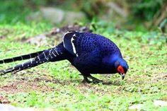 Mikado Pheasant (Syrmaticus mikado) endemic to the mountainous region of Taiwan