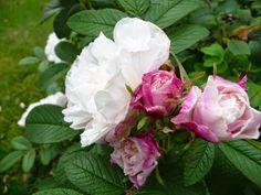 """blog """"Derrière les murs de mon jardin"""": L'automne des nouveaux rosiers (2) : une commande de dernière minute chez Loubert. Le très beau rugosa 'Louis Bugnet' (ou 'Louise Bugnet', on trouve les deux), qu'Arnaud m'a fait découvrir. Ses boutons framboise s'ouvrent sur des fleurs blanc pur et le contraste est superbe."""