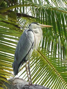 Maldives Maldives Tour, Maldives Resort, Bye Bye Birdie, Eagle Ray, Reef Shark, Manta Ray, Archipelago, Beautiful Birds, Whale