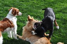 Chelsea, Josie, and Toby play fighting. The look on Chelsea's face is so funny and adorable!    Toby (Greater Swiss mountain dog puppy) and Josie (golden retriever) are dogs who I'm pet-sitting and Chelsea (Brittany spaniel) is one of my dogs.    This ph does your'se look like that