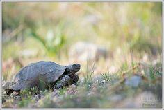 Testudo graeca ibera Spur-thighed Tortoise Dalyan, Turkey