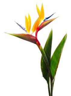 Hard-To-Kill Plants That Dont Need Sunlight Might We Introduce You To The Future Replacement For Your Fiddle Leaf Fig Plant? Lower Maintenance That The Previously Mentioned Greenery, A Bird Of Paradise Has A Tropical Look But Doesnt Need A Ton Of Care. Tropical Flowers, Exotic Flowers, Tropical Plants, Beautiful Flowers, Tropical Birds, Tropical Paradise, Birds Of Paradise Plant, Birds Of Paradise Flower, Easy Care Plants