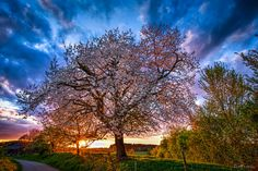 The cherry tree - TomFear White Cherry Blossom, Cherry Tree, Cherry Blossoms, Dusk, Clouds, Spring, Google, Plants, Photography