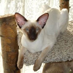 Chocolate Point Siamese | Chocolate Points