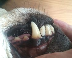 Zahnstein beim Hund kann man auch ohne Tierarzt entfernen You can remove tartar from the dog without a vet All Dogs, I Love Dogs, Cute Dogs, All About Animals, Animals And Pets, Dog Stories, Pet Life, Dog Quotes, Happy Dogs