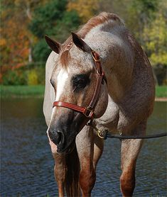 Strawberry Roan with a Roaned Head