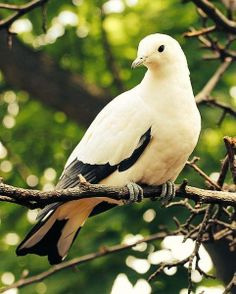 Pied Imperial Pigeon (Ducula bicolor), Southeast Asia