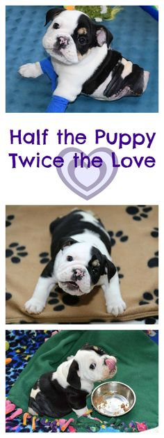 #Bulldog #puppy named Bonsai