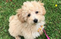 Bichon Poodle Mix, Bichon Frise, Poochon Dog, Poodle Grooming, Little Dogs, Beautiful Dogs, Rottweiler, Dog Design, Dog Life