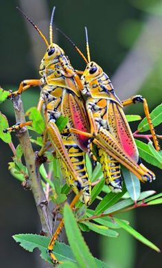 Matting Adult Lubber Grasshoppers