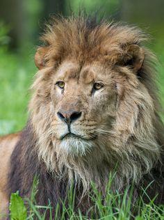 Rei Leão!