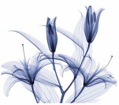 lírio branco desenho - Pesquisa Google