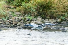 Flying Heron by Marc Lucas on 500px