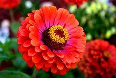 Você conheçe as Zinias? São lindas plantas floriferas que além de colorir o seu jardim são de facil cultivo e se adaptam muito bem ao clima de verão.