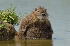 Confused Beaver