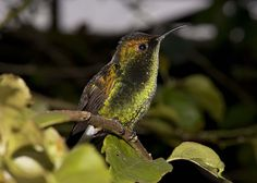 Costa Rica_Coppery-Headed Hummingbird by Vegas Nelson on Flickr. / Winged Jewels