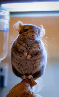 "Chinchilla. That is all. Sadly, when you look up ""chinchilla"", you get as many things made out of chinchillas as you do cute pictures like this."