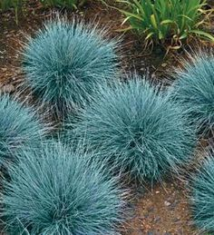 Blue Fescue - wowzers. Bright blue :)