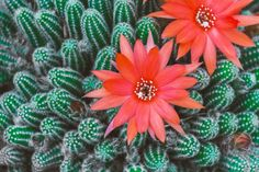 Free Image on Pixabay - Cactus, Blossom, Bloom, Red, Pink