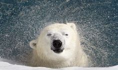 A polar bear shakes water off his body at a zoo in Canada. - REUTERS/Mathieu Belanger