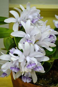 Cattleya intermedia var. coerulea 'I'll Be Waiting'
