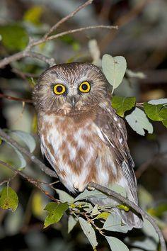 Northern Saw-whet Owl (Aegolius acadicus). Photo by Rick & Nora Bowers.